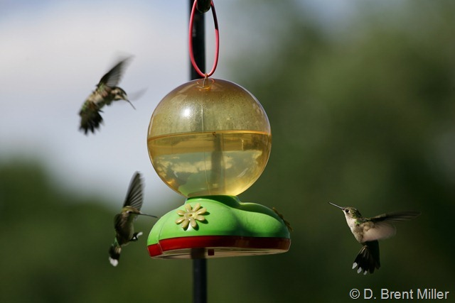 Hummingbird territory